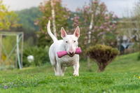 white bull terrier dog portrait