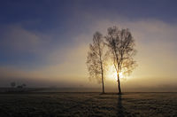 Birch trees in the morning mist