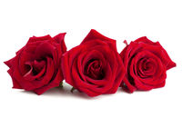 Red rose flowers on white