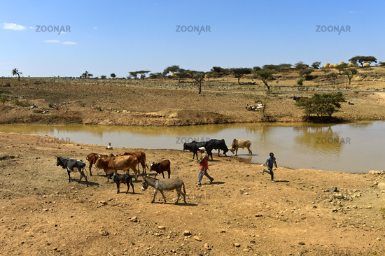 Cattle and donkey at a watering place in the Hazwien Plain, Tigray, Ethiopia