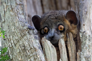 A weasel lemur in a tree hollow looks out curiously