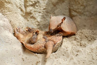 Funny two Cingulata or Armadillo outdoors close up, photo taken in zoo safari park in Spain