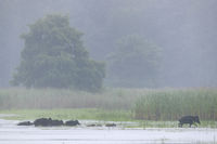 Wild Boar sounder crosses a pond