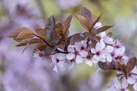 Blütenzweig einer Blutpflaume (Prunus cerasifera Nigra)