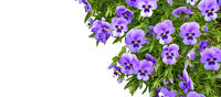 Beautiful spring or summer floral border - purple Violets or pancy flowers