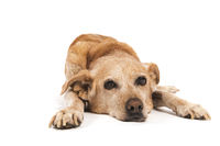 Old dog laying at the floor isolated