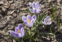 violet crocuses bloom in early spring on old dry foliage