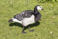 Branta leucopsis, Barnacle goose from Germany