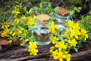 Essential oil of tutsan in bottles with fresh flowers of tutsan on wooden background. Spa Phytotherapy Aromatherapy Alternative Medicine