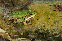 Kleiner Wasserfrosch im Teich