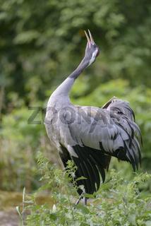 Eurasischer Kranich, Grus grus, Eurasian crane