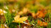 leaves with colourful autumn colours on a meadow in autumn