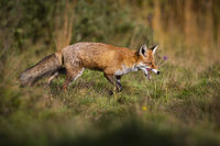 Hungry red fox walking on meadow in autumn nature.