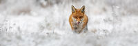Red fox going forward on meadow in wintertime nature.