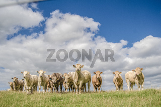 Herd Of Rural Cows