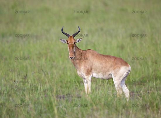 Hartebeest looking at camera, Maasai Mara National Reserve, Kenya, Africa