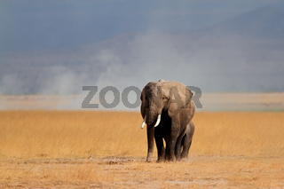 African elephant with calf