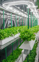 Organic hydroponic vegetable grow with LED Light Indoor farm. Agriculture Technology. Soilless culture of vegetables under artificial light