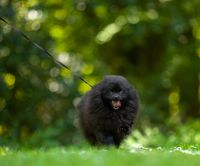 Black pomeranian spitz on a background of green grass.
