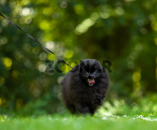 Black pomeranian spitz on a background of green grass.