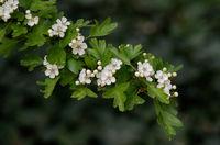 Crataegus (Rosaceae) flowers of a flowering hawthorn bush in a park in spring