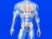 Human Anatomy visualization - the Heart in a semi transparent Body