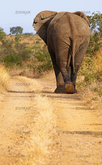 african elephant on the street, south africa