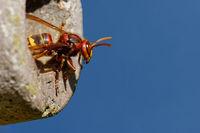 hornet in a nesting box