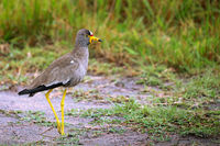 African wattled lapwing at Lake Mburo National Park in Uganda (Vanellus senegallus)