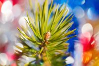Close-up of Xmas pine tree branch with needles. Christmas ornament decorations for Happy New Year