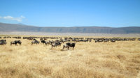 Gnus in the Ngorongoro Crater in Tanzania