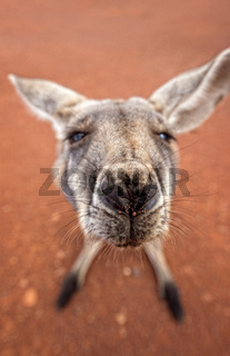 Australian kangaroo as art close-up with red soil as background