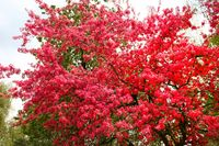 Japanese cherry blossoming tree