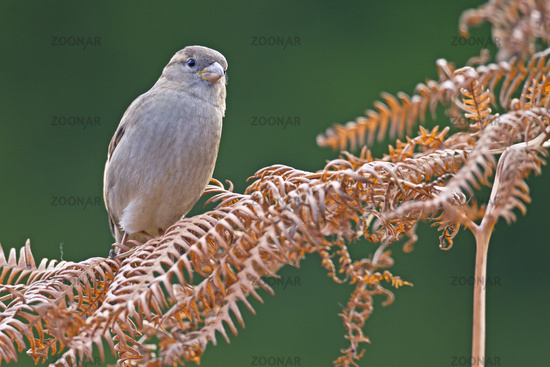 House Sparrow female on a fern frond / Passer domesticus
