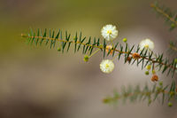 Australian native flower - golden wattle blossom