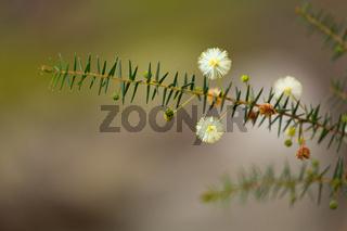 Australian native flower - golden wattle blossom