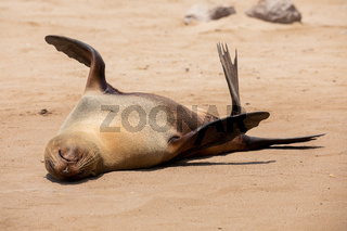 Fur seal in cape cross, Namibia.