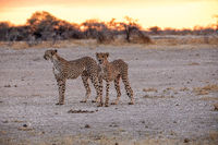 Cheetah at Etosha National Park, Namibia