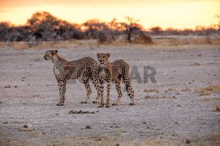 Cheetah at Etosha National Park, Namibia