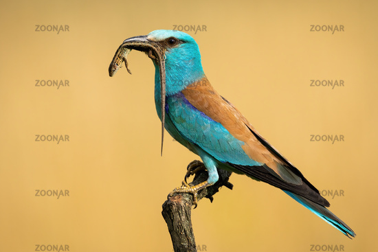 Ruropean roller perching and holding dead lizard with long tail in summer
