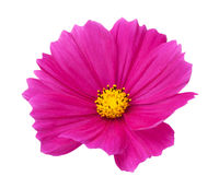 Pink Cosmos Flower Isolated