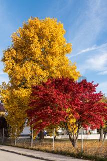 Leuchtende Ahornbäume in kräftig unterschiedlichen Farben im Herbst