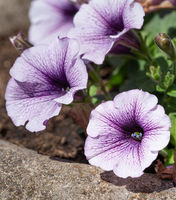 Garden Petunia, Petunia hybrida