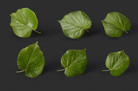 Plant pattern from fresh natural green tilia leaves on a black background.