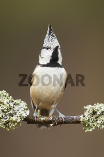 Detail of european crested tit sitting proudly on the lichen covered twig
