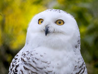 Snowy Owl (Bubo scandiacus) in the Halle (Saale) mountain zoo