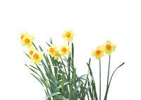 yellow daffodil flowers isolated on white
