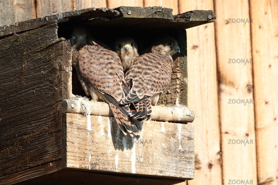 common kestrel (Falco tinnunculus) young birds at the nest box