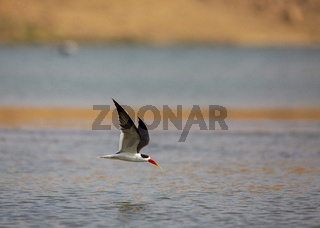 Black skimmer in flight looking for prey, Rynchops niger, Chambal River, Rajasthan, India