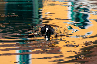 Coot (Fulica atra) on the Altmuehl river in Essing, Bavaria, Germany